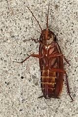 Mortality (David K. Edwards) Tags: roach cockroach blattoid bug insect injured gregorsamsa danascully coprophages discordia thesacredchao gulik eris goddess iphone wheresmylegdude