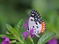 Source of my Inspiration (SivamDesign) Tags: canon eos 550d rebel t2i kiss x4 300mm tele canonef300mmf4lisusm ef12ii extensiontube fauna backyard butterfly pierrot redpierrot talicadanyseus