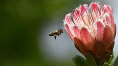 hinein ins Vergnügen! (karinrogmann) Tags: biene ape bee blüte fiore flower