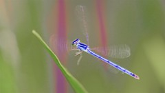 Wing Blur (imageClear) Tags: blur wingblur damselfly insect marsh color nature beach aperture nikon d600 105mm imageclear flickr photostream
