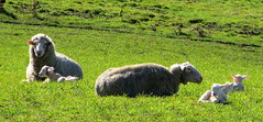 SIGNS of SPRING (elliott.lani) Tags: farm farmyard farmyardanimals animals sheep lamb lambs springlambs rural green