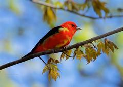 Male Scarlet Tanager (Henrietta Oke) Tags: malescarlettanager bird redbird songbird tanger scarlettanger wildlife nature wings blackwings pointpelee nikon nikon5300 nikkor 200500mm nikkor200500mmf56eedvr leamingtonontario plumage