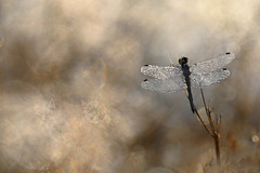 Schwarze Heidelibelle (Sympetrum danae) (MichaSauer) Tags: heidelibelle sympetrum schwarze blackdarter darter segellibelle odonata libelle dragonfly symptrum noir zwarte heidelibel gegenlicht sonnenaufgang sunrise makro macro