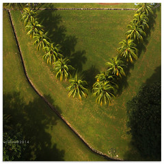 V for Victree - 6618 (willfire) Tags: trees terrain green field garden singapore coconut geometry aerial symmetry line plantation shape treetop trigonometry birdeyeview willfire
