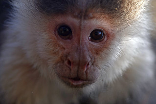 Curious capuchin monkey