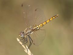 Trithemis annulata  (fturmog) Tags: fauna dragonflies odonata liblulas goladelter torroellademontgr libllules odonats odontos