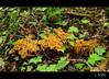 Camagrocs (PCB75) Tags: mushroom mira foret seta champignon pilz setas bosc magia rossinyol гриб bolets bolet schwammerl 蘑菇 onddo rossinyols camagrocs cantharelluslutescens màgic μανιτάρι camagroc goita rebozueloanaranjado moixernódebosc saltzaperritxahari panchica trompetaamarela