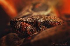 Morticia (Brian-D) Tags: portrait pet ex animal canon colorful desert reptile snake wildlife central sb600 boa leopard american ocf het sonoran morph redtail 135mm 6d tarahumara constrictor 135l boid dcr250 raynox 135mml strobist
