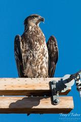 Juvenile Bald Eagle enjoys the late afternoon sun