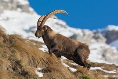 Stambecco delle Alpi (Capra ibex) (Simone Sanmartino) Tags: