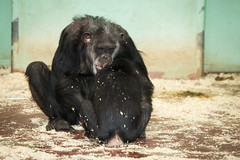 2014-12-28-11h28m45.BL7R9483 (A.J. Haverkamp) Tags: mike zoo thenetherlands chimpanzee amersfoort dierentuin chimpansee dierenparkamersfoort canonef70200mmf28lisusmlens httpwwwdierenparkamersfoortnl dob1965 wingu dob30082009