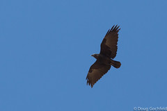 Fan-tailed Raven (Doug Gochfeld) Tags: winter israel flight february eilat vagrant rarity ftra fantailedraven