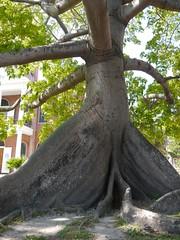 key west tree (newlightbulbs) Tags: west key florida keywest southernmostpoint
