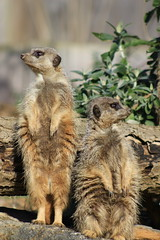 Meerkat 5 (Kanimi) Tags: wild macro field animal photography zoo meerkat wildlife telephoto shallow karolina depth marwell dudek karolinadudek