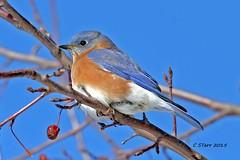 251 eastern blue bird (starc283) Tags: bird nature birds birding bluebird bluebirds easternbluebird starc283