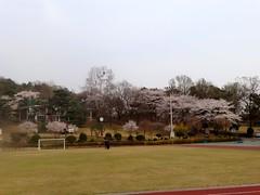 Cherry Blossom in Ilsan
