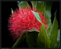 Estrela-de-Natal (Scadoxus multiflorus) (Nightgoose) Tags: flower lily flor lírio kodakportra160vc coroaimperial liliacea scadoxusmultiflorus estreladenatal exposure7 líriosangusalmão fujifilmxe2 fujinonxf1855mmf284r