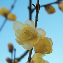 _Chimonanthus praecox_ Wintersweet Blossom Plants Nature at   (pompogna) Tags: plants nature blossom wintersweet