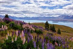 The Hills are Alive with the Colour of Lupins (Kristin Repsher) Tags: flowers newzealand nikon df mackenzie nz southisland mackenziecountry laketekapo lupins tekapo earthandsky mountjohn mountjohnobservatory glacierfedlake