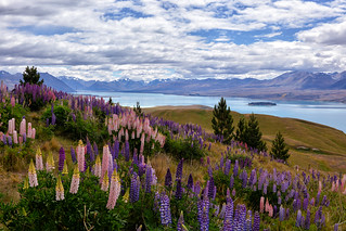 The Hills are Alive with the Colour of Lupins