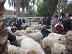 Plenty of Sheep in Stock