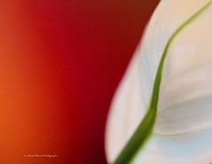 Fleur de Lune (deplour) Tags: flower fleur explorer spathyphillum fleurdelune inexplore