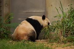 (kimtetsu) Tags: animal japan zoo panda kobe  giantpanda      ojizoo