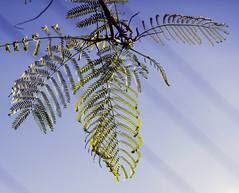 Like a Dream (haidarism (Ahmed Alhaidari)) Tags: nature dream leafs