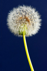 One O'Clock (andrewrosspoetry) Tags: dandelion explore dendelion