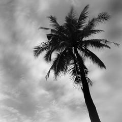 Coconut Tree (skyfx64) Tags: plant tree nature indonesia landscape soft cloudy fujifilm 1855mm fujinon strom eastjava sawarna xt1