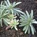 Euphorbie oder Echium brevirame?