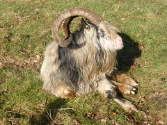Goats, no need to be shy (Alta alatis patent) Tags: horns goat shy gaasterland
