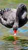 BEAUTIFUL SWAN (Rose Frankcombe) Tags: australia tasmania blackswan launceston firstbasin cataractgorgereserve rosefrankcombe waterrequired