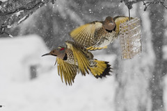 In and Out (brucetopher) Tags: snow cold bird birds yellow landscape snowflakes fly wings flash wing trading snowing snowfall trade departures flap arrivals flicker snowscape inandout tradingplaces winterlandscape winterscene massachusettsbirds newenglandbirds capecodbirds coldwinterlandscape