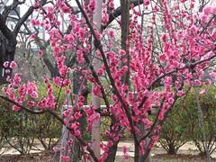 #9356 unknown Japanese apricot, pink () (Nemo's great uncle) Tags: flower tokyo flora   ume setagaya prunus  hanegipark japaneseapricot  setagayaku   prunusmume