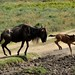 Wildebeest mom and calf