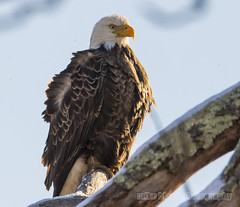 Bald Eagle in the snow wind and cold (Mike Black photography) Tags: ocean life new winter wild white snow storm black bird mike nature canon lens 1 march is eagle d wildlife birding bald nj aves x shore jersey l usm f56 dslr belmar 800mm 2015