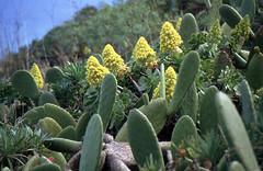 Aeonien und Feigenkakteen (fotoculus) Tags: españa flora canarias espana lapalma canaryislands spanien aeonium kanarischeinseln diascans urlaubsreise1991