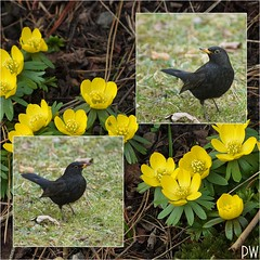 Flora & Fauna (peterphot) Tags: birds blumen vögel märz collagen blüten winterlinge