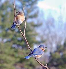 Bluebirds (picturesinmylife_yls) Tags: excited seven feeders bluebirds