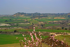 Camps de Ribera d'Ondara. (Angela Llop) Tags: landscape spain eu catalonia wheatfields lasegarra prunusdulcis riberadondara