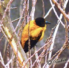 Yellow Bird (NIRA BANERJEE) Tags: india bird birds kolkata calcutta holud oriole blackhooded pakhi benebou