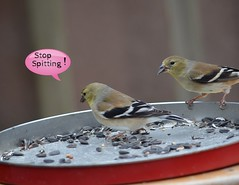 Bad Manners (I'magrandma) Tags: birds fun humor seeds aviary feed spitting