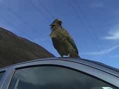 Kea Parrot on our Car