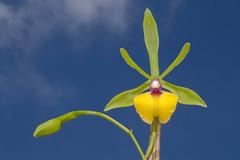 """Epicattleya Rene Marques """"Roman Holiday"""" (Roberto José de Almeida) Tags: orchid orquídea epicattleya rene marques roman holiday flor flower roberto almeida robertoalmeida"""
