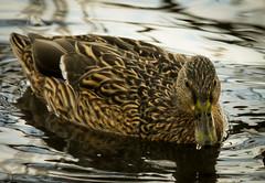 Mallard (NoTomatoes) Tags: lake robin birds garden geese duck swan goldfinch dunnock sparrow mallard blackbird bluetit greattit chaffinch coaltit