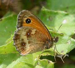 Gatekeeper (John_E1) Tags: macro closeup butterfly insect essex gatekeeper pyronia tithonus