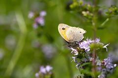 Hooibeestje (carolina b. fotografie) Tags: nature butterfly garden butterflies natuur tuin vlinders vlinder hooibeestje