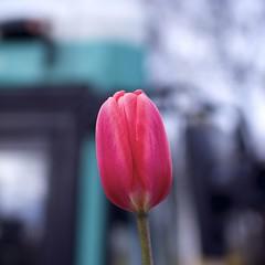Tulip (2090) (cfalguiere) Tags: areahautsdeseine92 areailedefrance bus cityscape colorred countryfrance datepub2016q307 fleur flower locationcourbevoie outdoor tulip urban bokeh sel20160724 effetbokeh plante exterieur profondeurdechamp dof