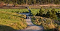 four for splendour (dustaway) Tags: landscape lateafternoon rurallandscape dirtroad people quartet four hullsroad northcoast sugarcane crops nsw australia winter women walkers walking hiking